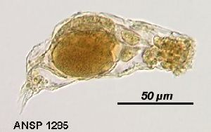 Image courtesy of ANSP (Jersabek et al. 2003) <a href='../../Reference/Index/15798' target='_blank'>[Ref.15798]</a>; female, lateral view