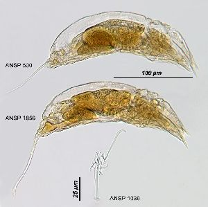 Image courtesy of ANSP (Jersabek et al. 2003) <a href='../../Reference/Index/15798' target='_blank'>[Ref.15798]</a>; females (lateral views), and trophus (ventral view)