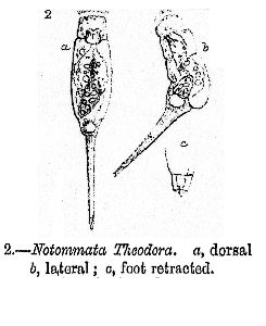 Gosse, P H (1887): Journal of the Royal Microscopical Society 7 p.862, pl.14, fig.2