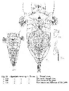 Rousselet, C F (1902): Journal of the Royal Microscopical Society 22 p.408, pl.8, fig.19