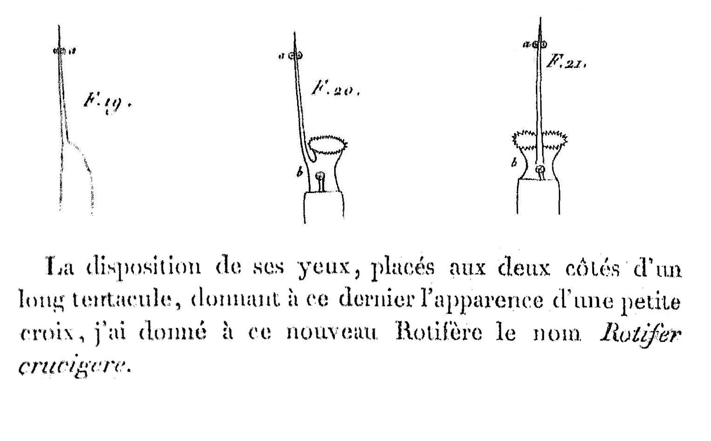 Beauchia crucigera dutrochet 1812 p 385 pl 18 figs 19 21